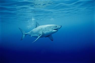 可爱的大白鲨