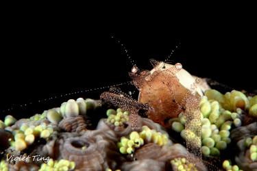 好華麗的蝦蝦 Hamopontonia corallicola