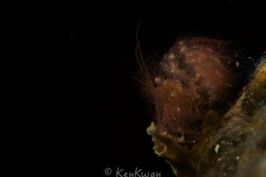 Hairy Shrimp