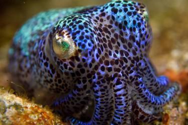 Colorful Bobtail Squid
