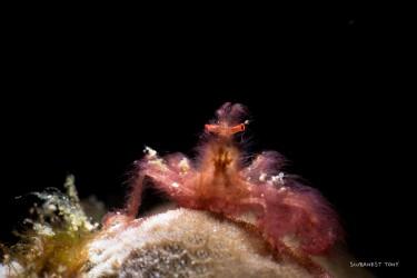 长毛猩猩蟹
