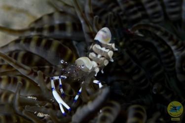 Anemone Shrimp