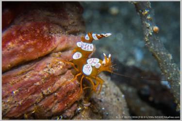 翘屁股的虾