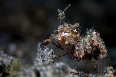 Simplex Shrimp