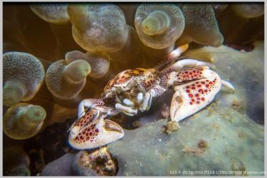 气泡海葵中的蟹