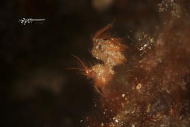 红色毛毛虾