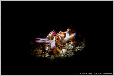 聚光灯下的火焰章鱼