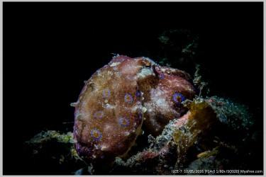 毒章鱼(蓝环)