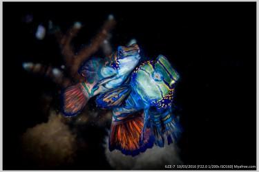 一对ooxx的麒麟鱼