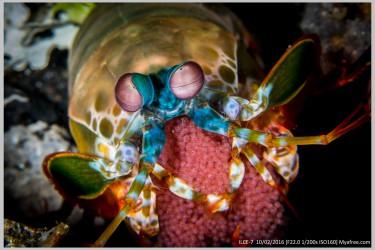 土籽的螳螂虾