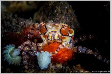 吐籽拳击蟹