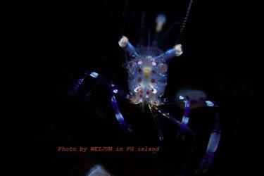 晶莹的海葵虾