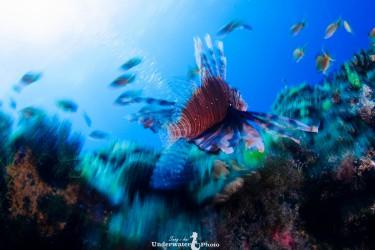 水下廣角-獅子魚
