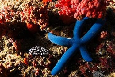 突丘小叶海蛞蝓&蓝指海星