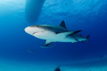 伤愈后的加勒比礁鲨雄风依然