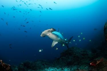 正在清洁的锤头鲨