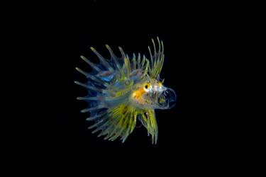 獅子魚幼魚