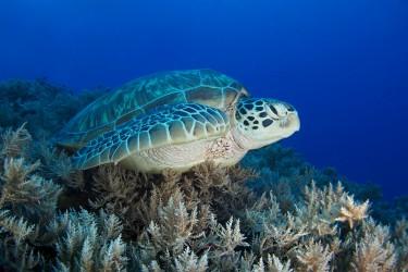帕劳蓝角的海龟