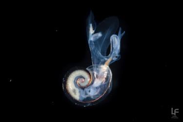 Pelagic Snail