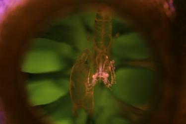 Shrimp in Tunicate