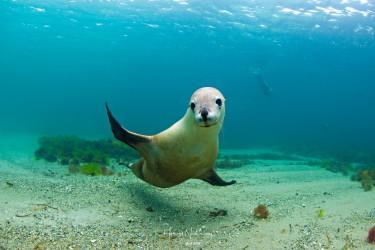 澳洲白海狮
