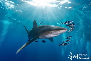 远洋白鳍鲨