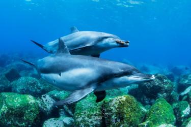 东方宽吻海豚