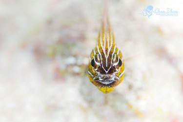 白沙地上的Cardinal Fish