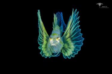 狮子鱼幼体