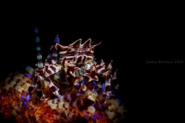 报卵的海葵蟹