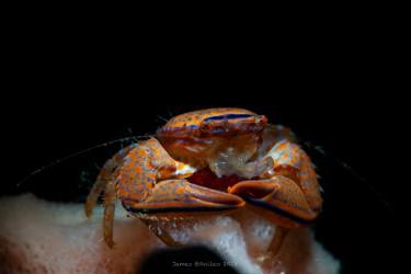 海绵上抱卵的螃蟹