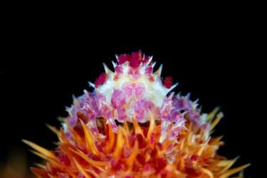 水晶蟹(不确定)
