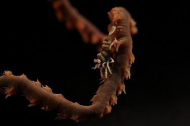 whip coral shrimp