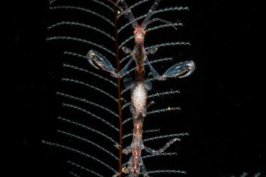 怀孕骷髅虾