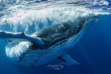 好奇的成年大翅鲸