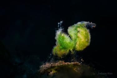 Green Algae Shrimp