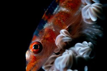 海鞭花-Goby