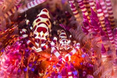 火焰海胆上的科曼虾
