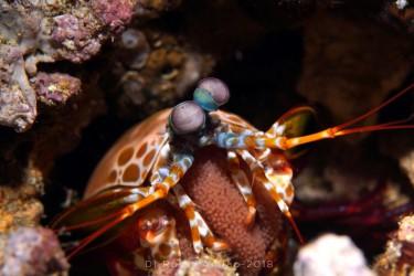 Mantis shrimp(hold eggs)