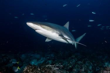 加拉帕格斯鲨