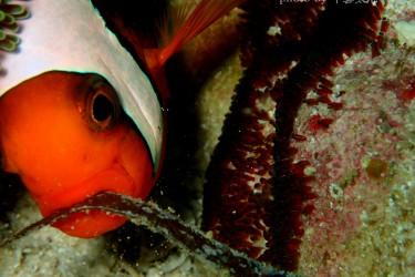 小丑鱼和卵