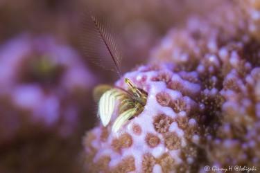 紫色小螃蟹