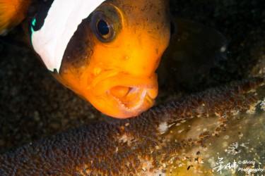 小丑鱼与鱼卵