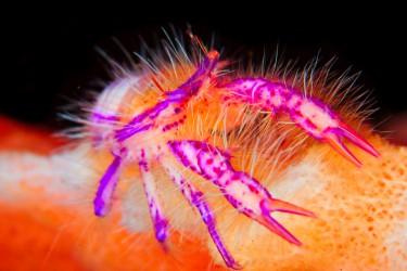 多彩毛毛蟹