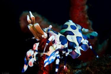 油彩虾吃海星