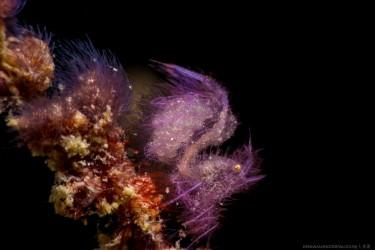 紫色毛毛虾