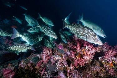 Emperor fish(皇帝鱼)