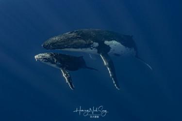 座头鲸母子