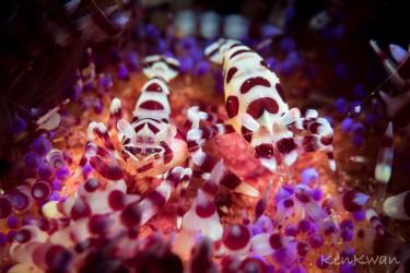 火焰海胆虾