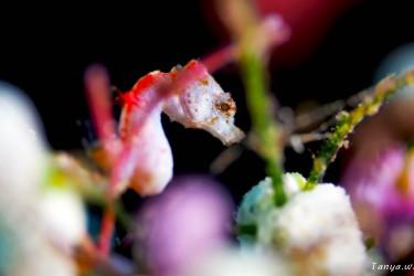 桃花源里的Pygmy Seahorse